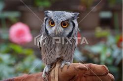 Pixta_owl